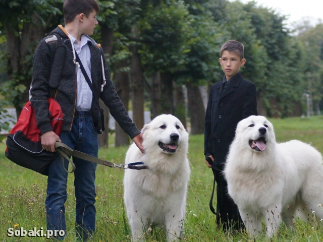 Pyrenean Mountain Dog 
