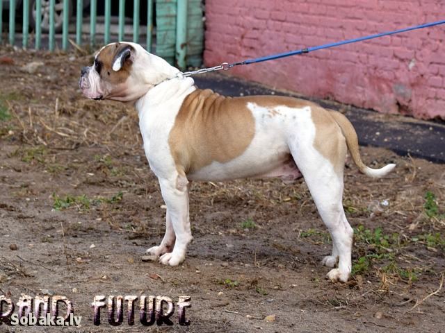 American Bulldog 