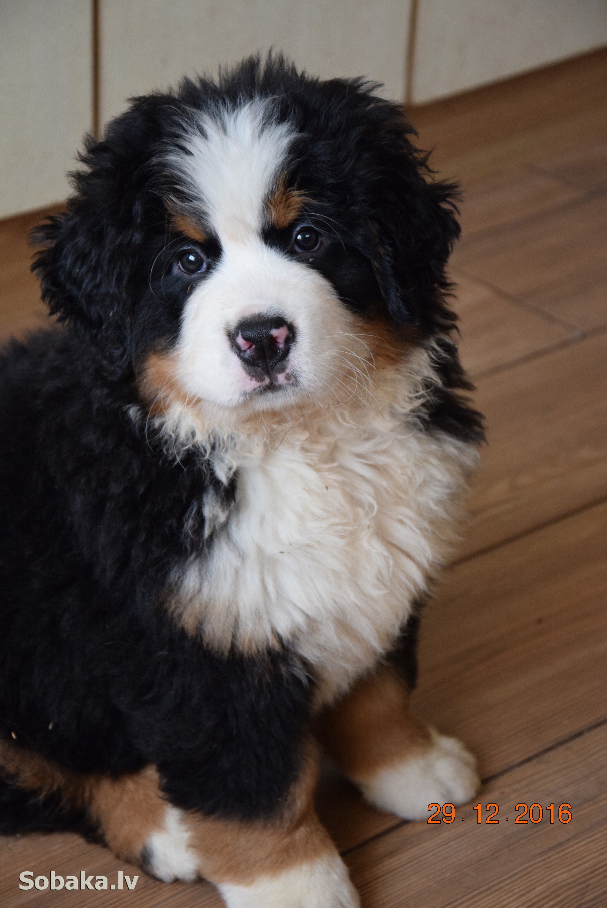Bernese Mountain Dog   Фото 104124