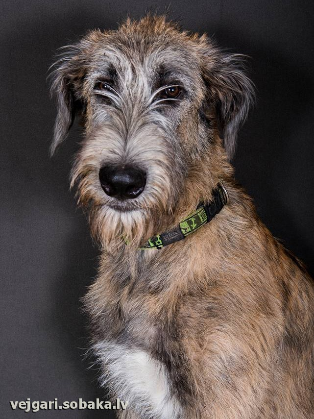 Irish Wolfhound