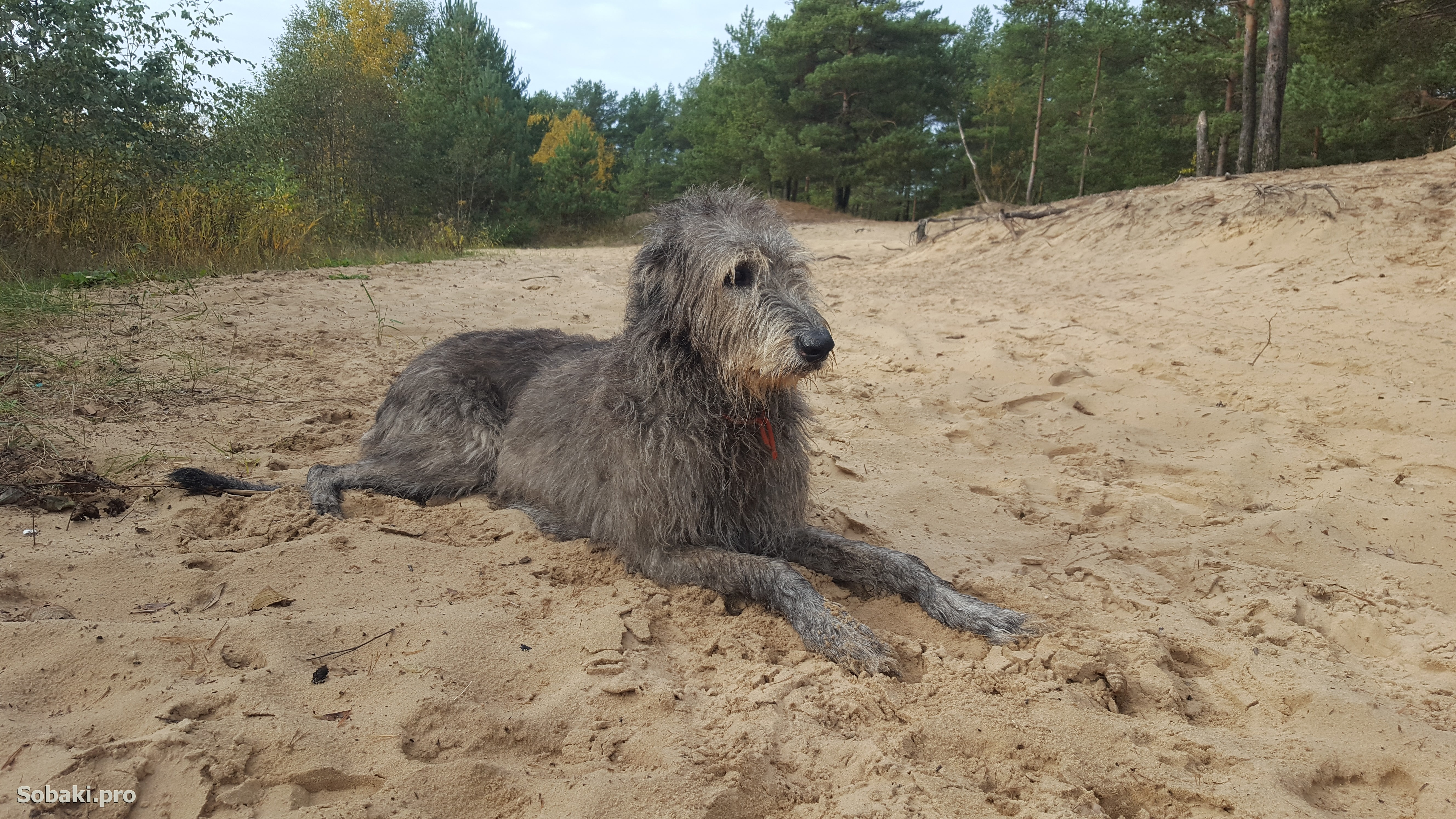 Irish Wolfhound   Фото 107139
