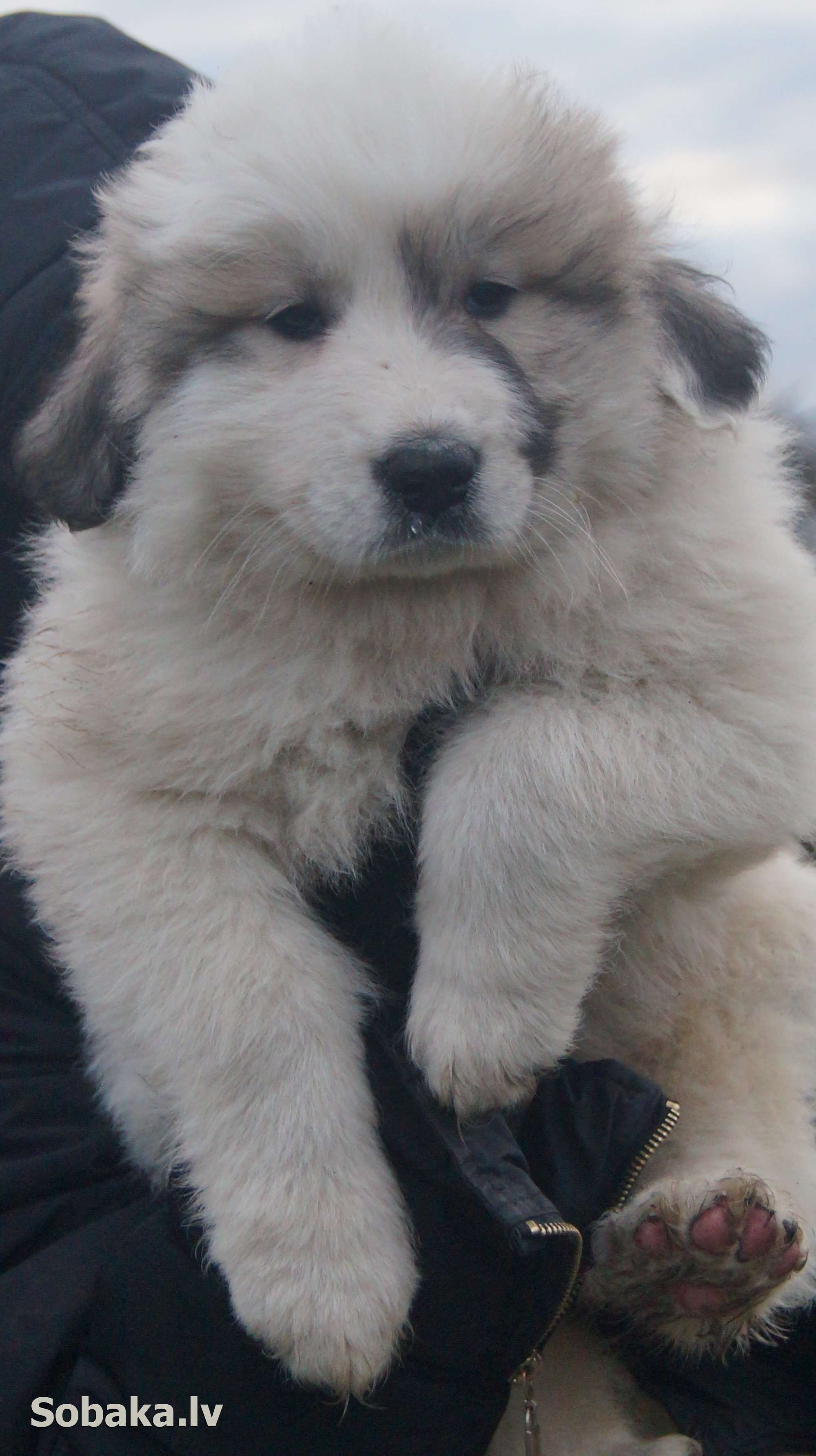 Pyrenean Mountain Dog   Фото 107460