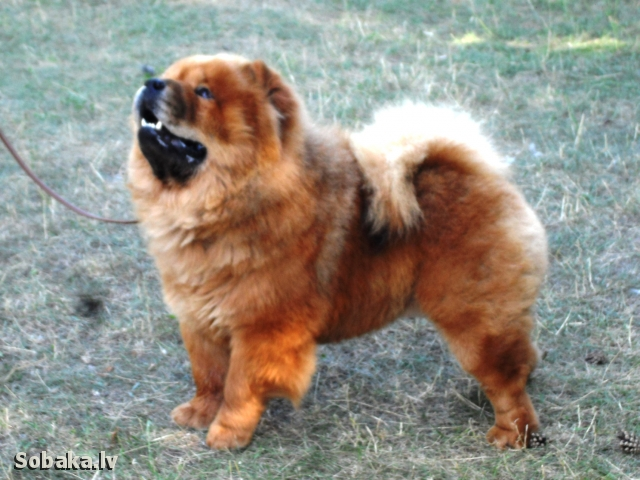 Папа щенков. 