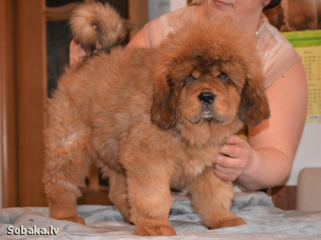 TIBETAN MASTIFF => PHOTOS  