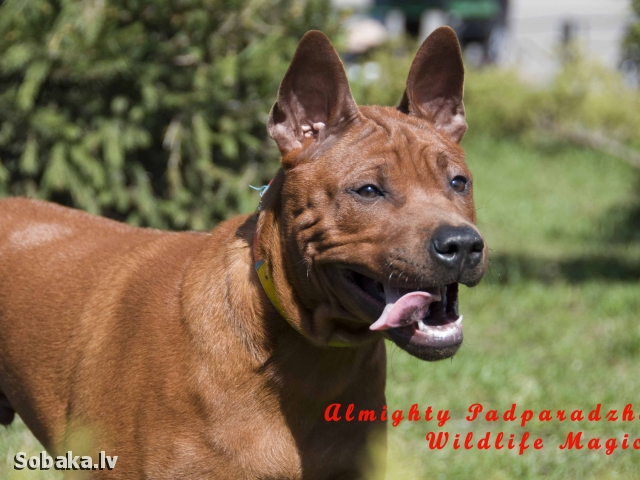 THAI RIDGEBACK DOG => DOG KENNEL  