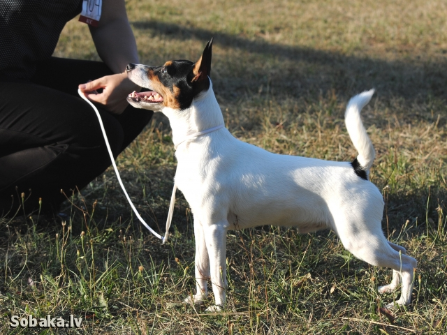 AMERICAN TOY FOX TERRIER => DOG KENNEL  