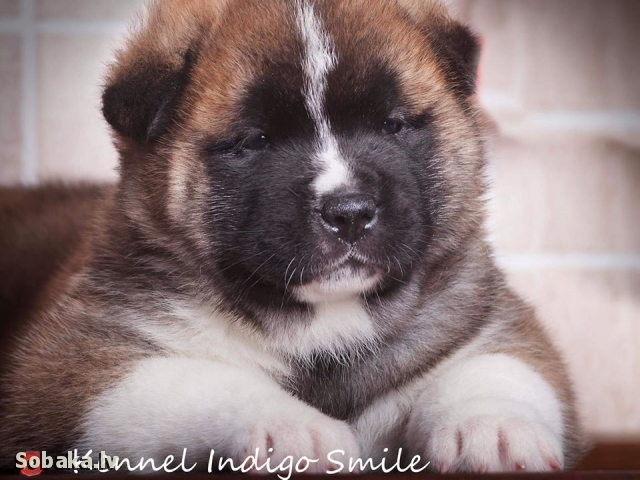 GREAT JAPANESE DOG, AMERICAN AKITA => PHOTOS  