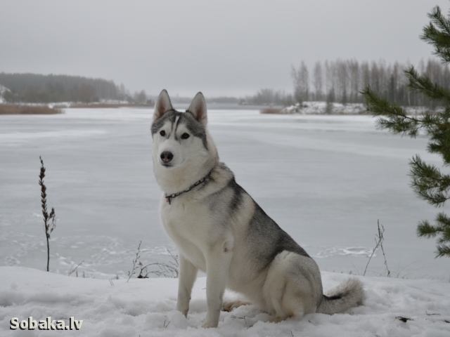 SIBERIAN HUSKY => THE DOG  