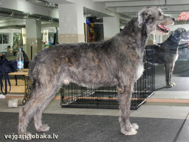 Irish Wolfhound Cudama Lynch