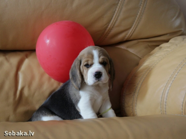 Beagle 