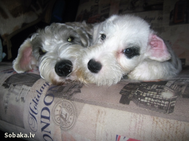 SEALYHAM TERRIER => PHOTOS  