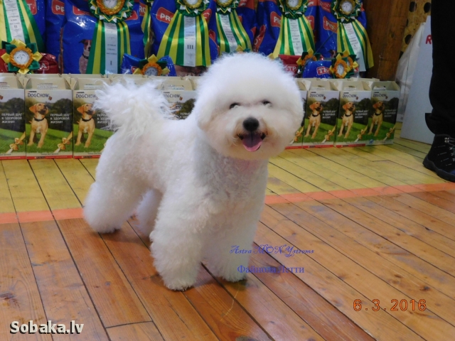 BICHON FRISE => PHOTOS  