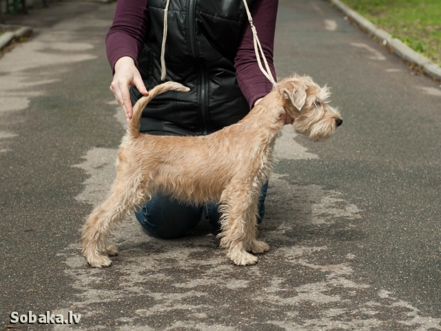 IRISH SOFT COATED WHEATEN TERRIER => PHOTOS  