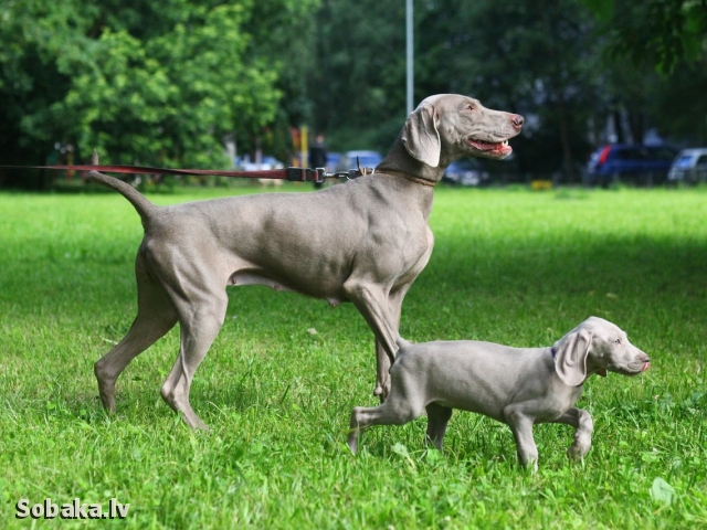 WEIMARANER => THE DOG  