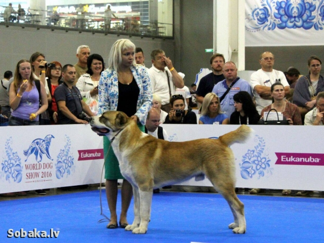 Central Asia Shepherd Dog 