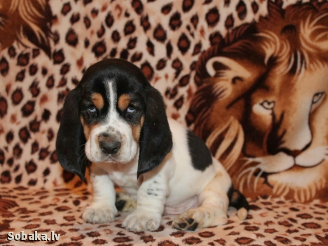 BASSET HOUND => THE DOG  