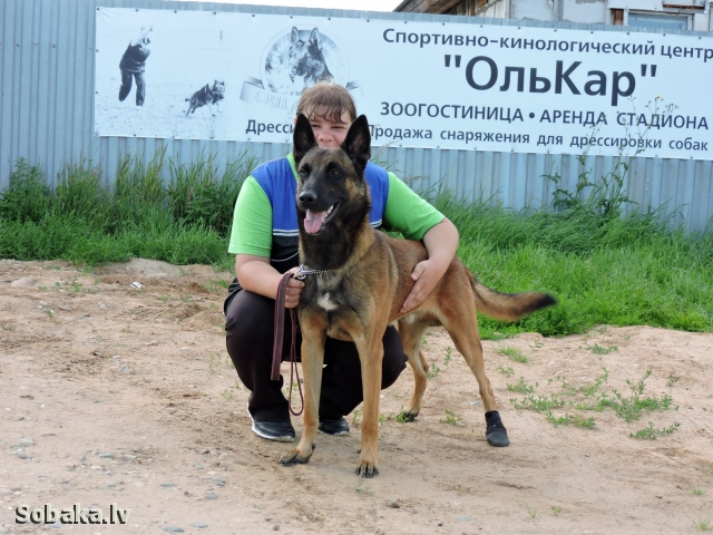 BELGIAN SHEPHERD DOG MALINOIS => PHOTOS  