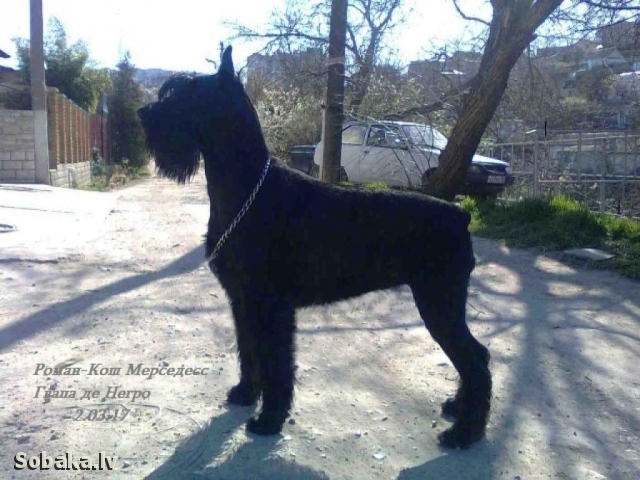 GIANT SCHNAUZER => THE DOG  