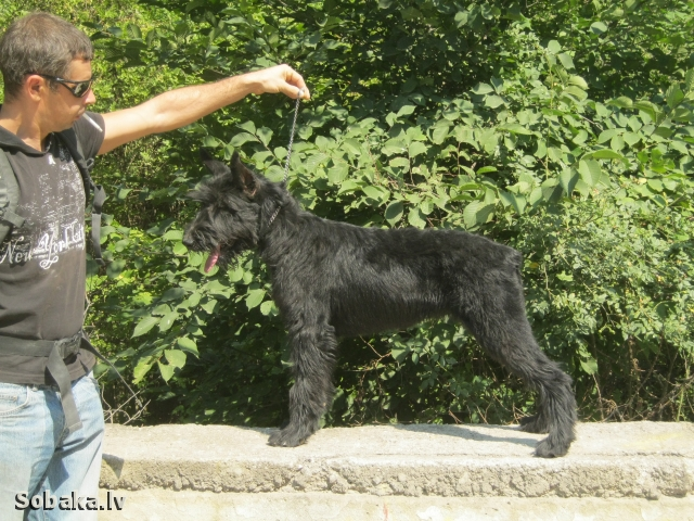 GIANT SCHNAUZER => DOG KENNEL  