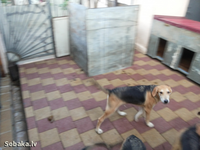 Russian hound 