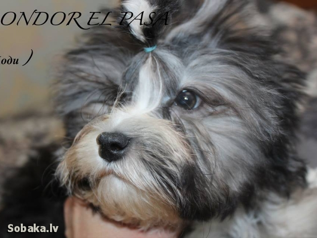 Малая львиная собака. 