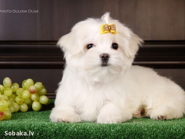 MALTESE => DOG KENNEL  