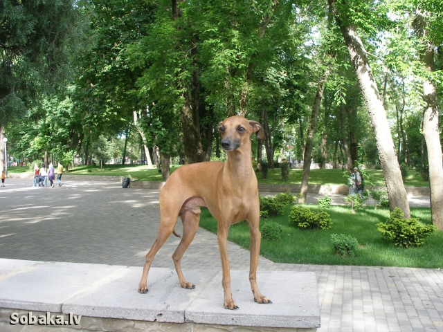 ITALIAN GREYHOUND => PHOTOS  