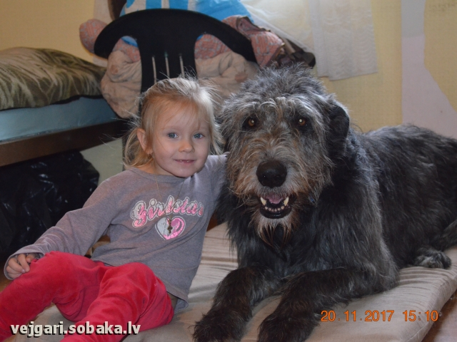 Irish Wolfhound 107431.jpg