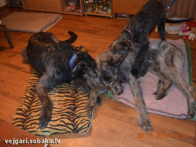 Irish Wolfhound 107432.jpg