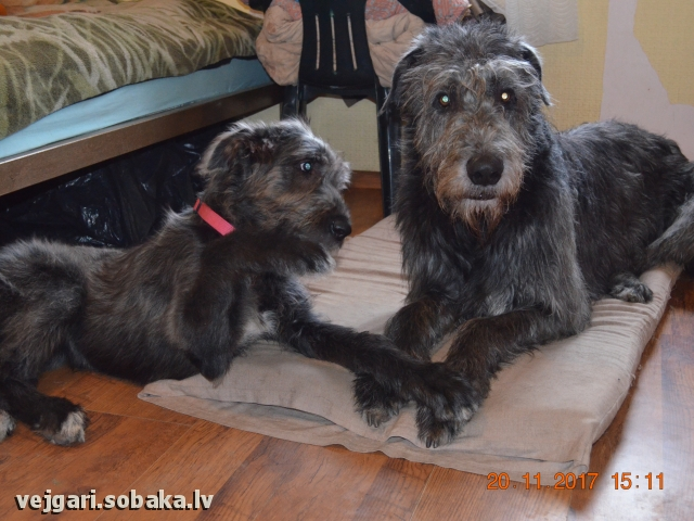 Irish Wolfhound 107437.jpg