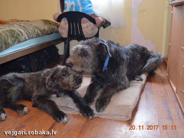 Irish Wolfhound 107439.jpg