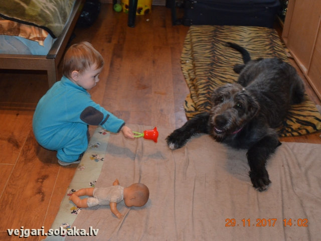 Irish Wolfhound 107441.jpg