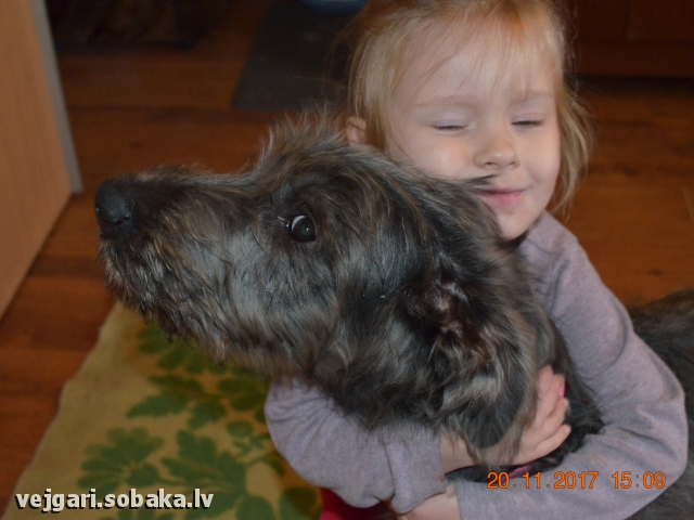 Irish Wolfhound 107442.jpg