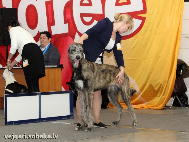 Irish Wolfhound 107448.jpg
