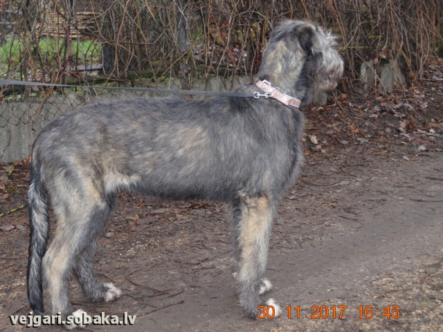 Irish Wolfhound 107451.jpg