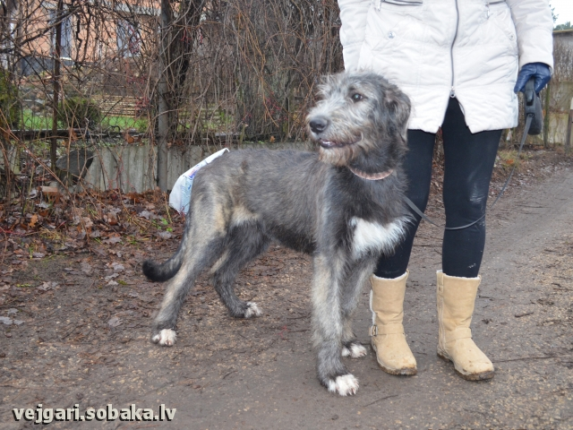 Irish Wolfhound 107452.jpg