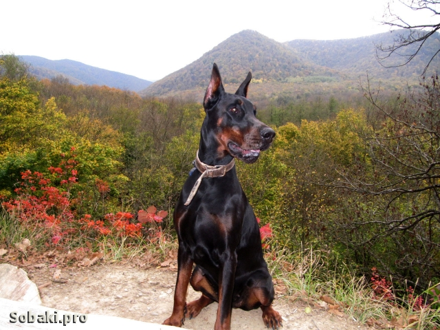DOBERMANN => THE DOG  