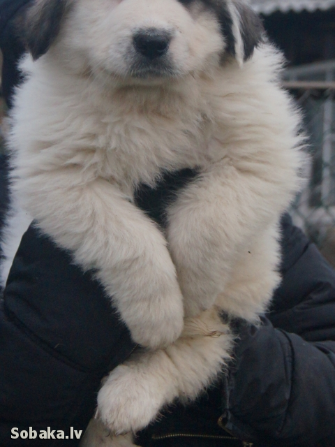 Pyrenean Mountain Dog 107462.jpg