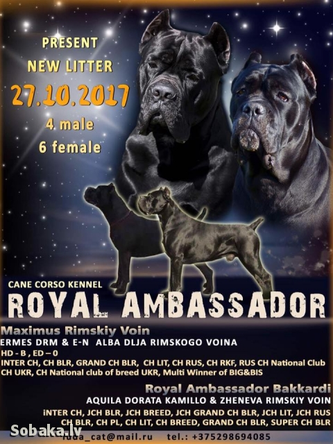 Italian Corso Dog 