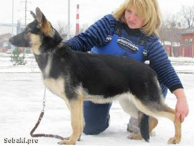 East evropean shepherd dog Intriga Iz Pushkino