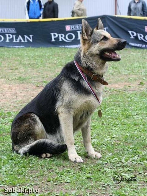 East evropean shepherd dog 107636.jpg