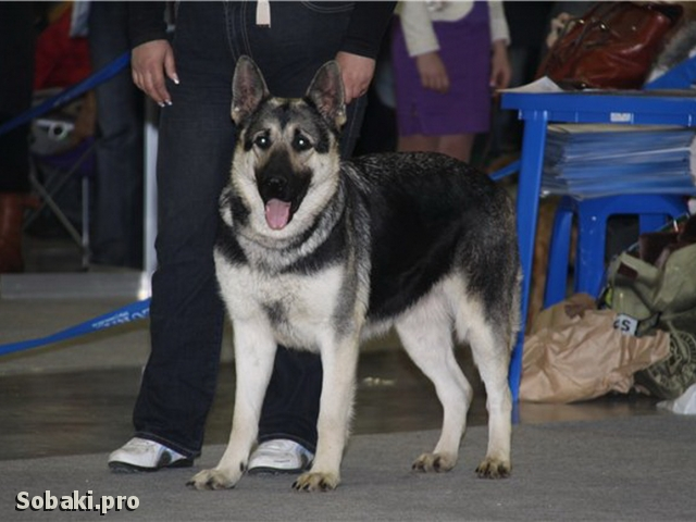 East evropean shepherd dog Send Irsei Olimpiya