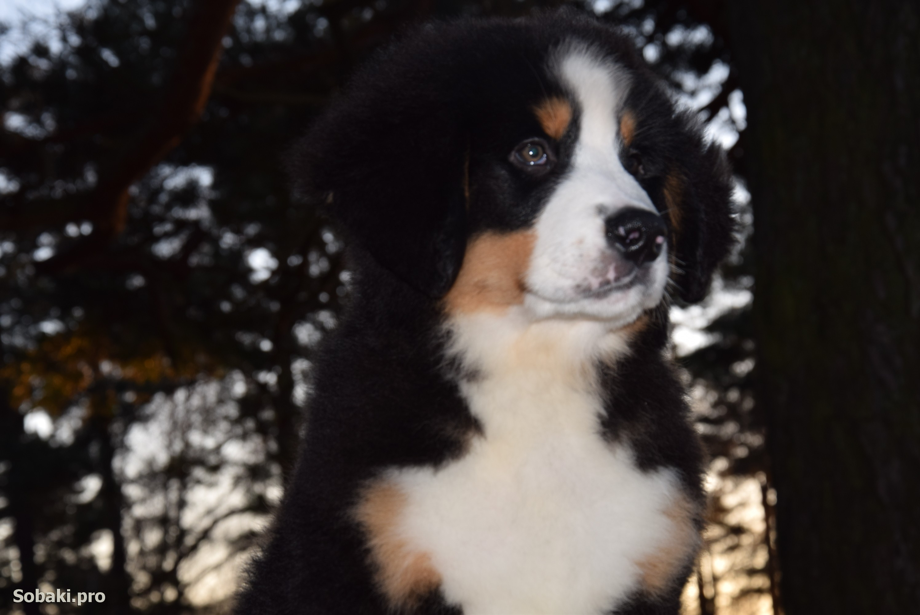 Bernese Mountain Dog   Фото 107775