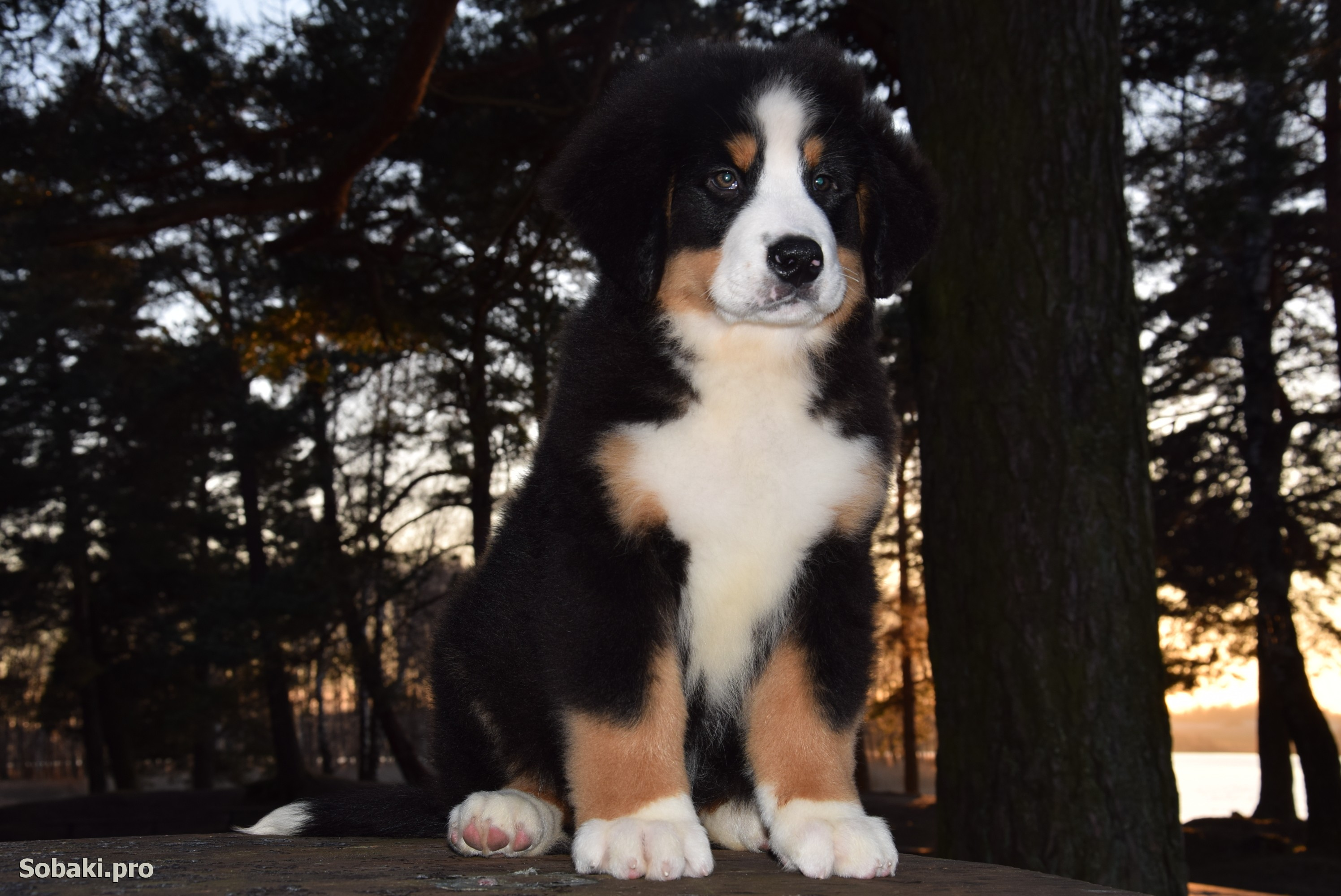 Bernese Mountain Dog   Фото 107776
