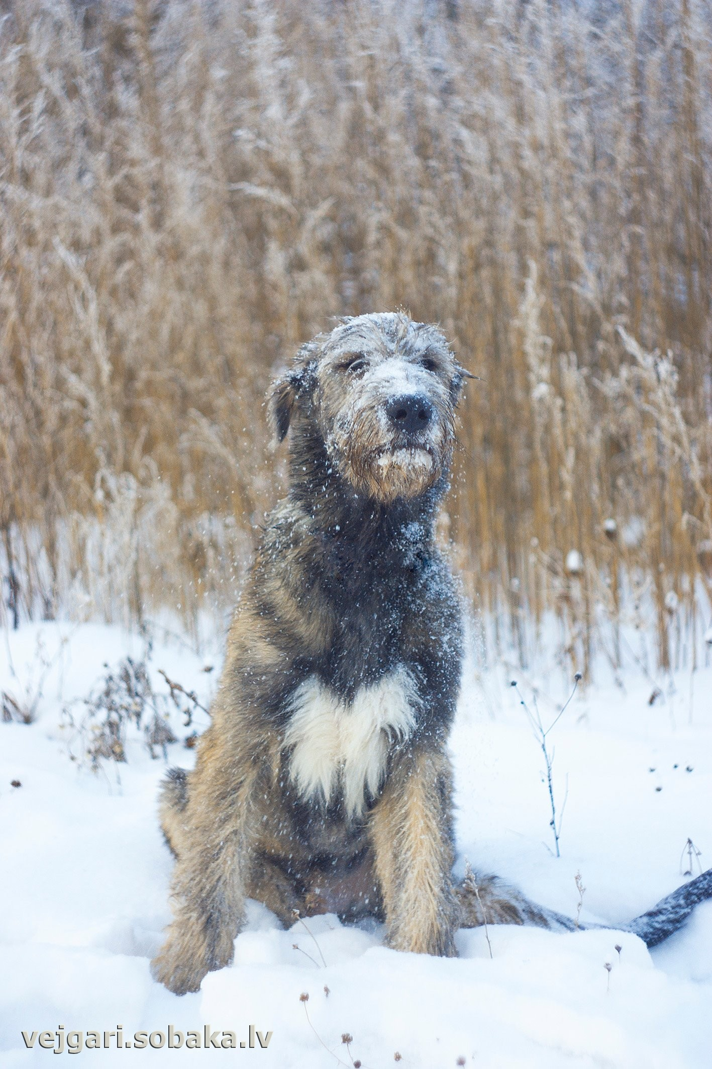 Irish Wolfhound   Фото 107790