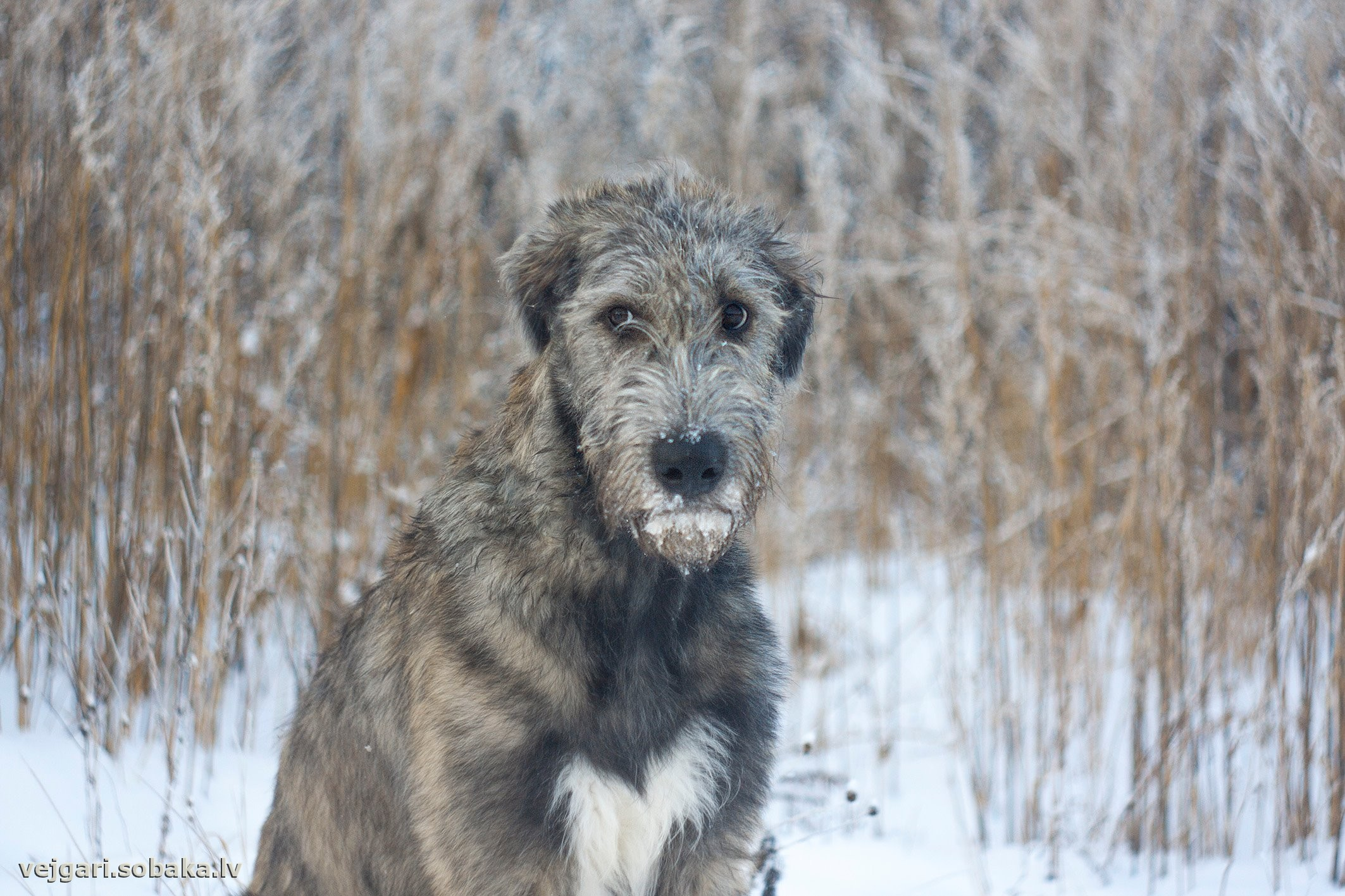 Irish Wolfhound   Фото 107795