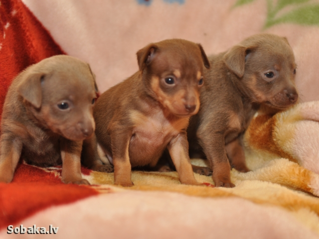 RUSSIAN TOY TERRIER => PHOTOS  