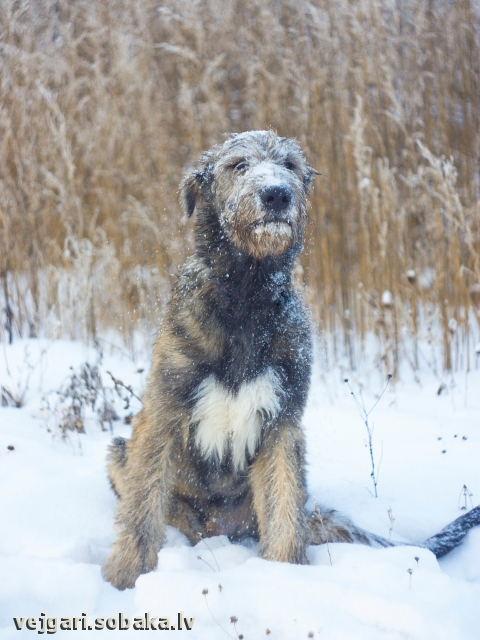 Irish Wolfhound 107790.jpg