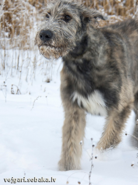 Irish Wolfhound 107791.jpg
