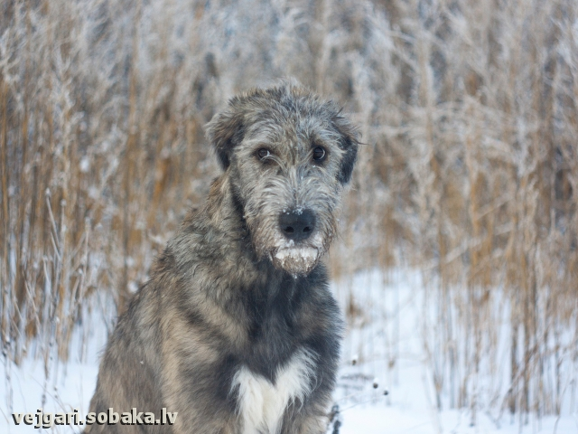 Irish Wolfhound 107795.jpg